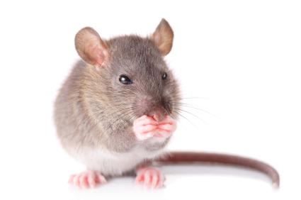 mouse, Pest Control Services Minneapolis