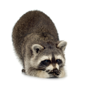 raccoon, Minneapolis Animal and Critter Removal